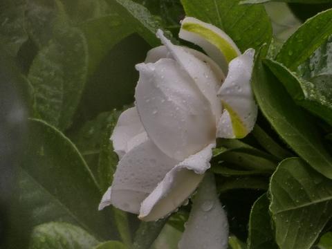 クチナシ花.jpg