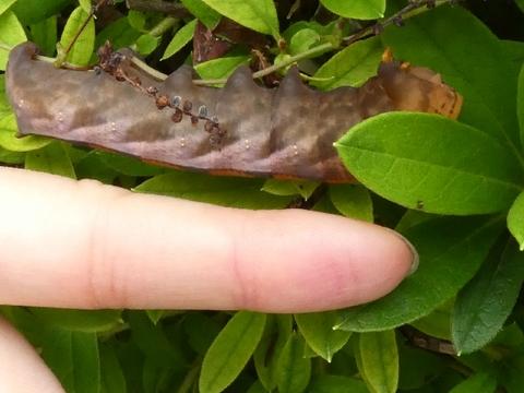 ホシホウジャク幼虫.jpg