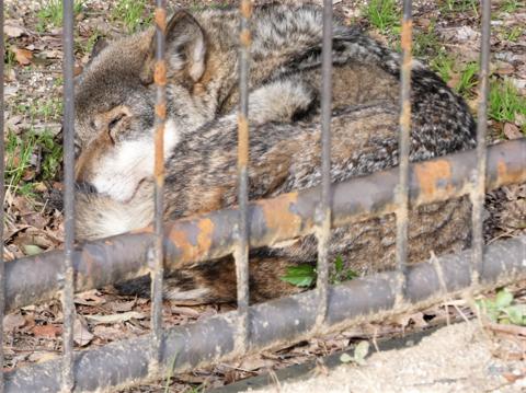 ヨーロッパ狼1.png