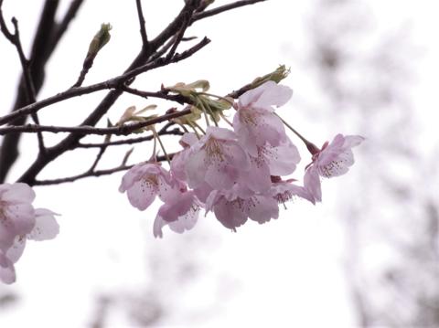大漁桜(たいりょうざくら)1.png
