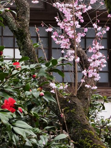 桜・椿a.png