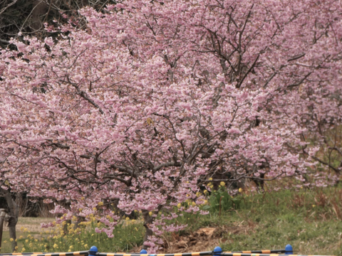 桜大木1.png