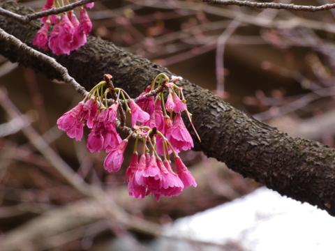 桜a.png