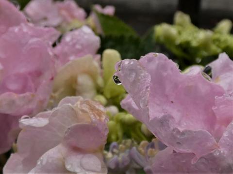 a紫陽花.png